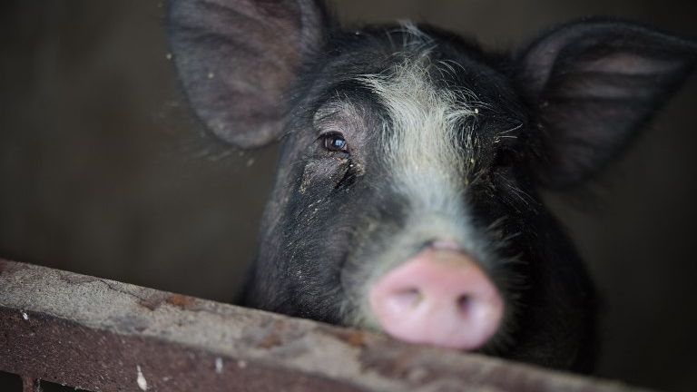 中国北京首次确认出现非洲猪瘟疫情