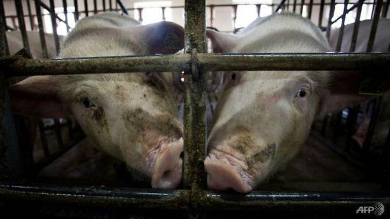 中国非洲猪瘟疫情持续蔓延 陕西贵州出现病例
