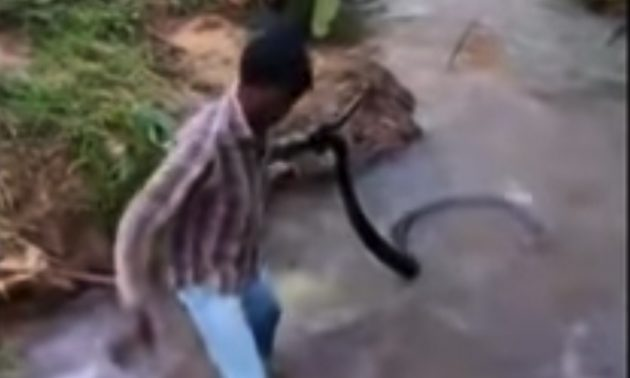 Video of Indian man with massive king cobra goes viral