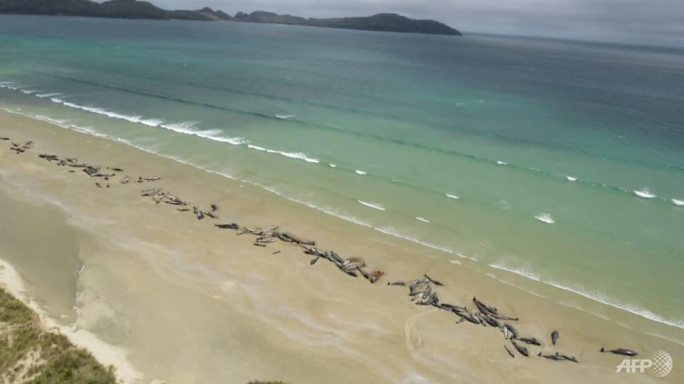 145 whales die on remote New Zealand beach