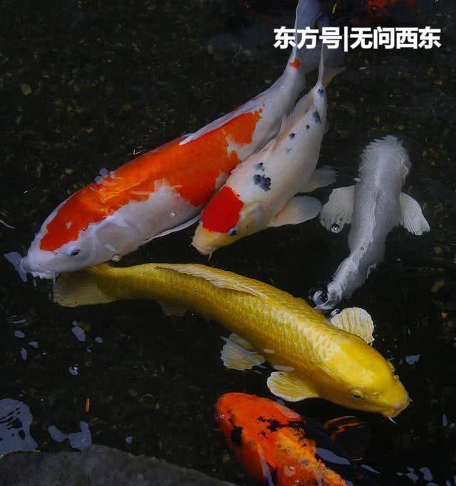 温哥华一公园饲养多年的昂贵锦鲤 还没来得及转发就被水獭吃掉