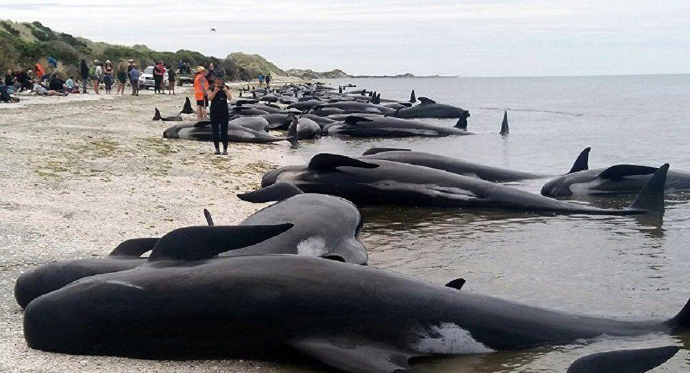 数十头巨头鲸和座头鲸在澳搁浅 政府:不打算清理
