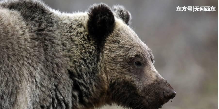 男子自家门前打死发狂灰熊,回家一看才知妻女已命丧熊口