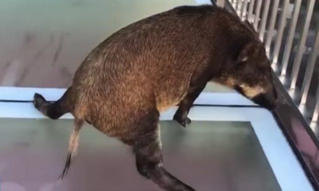 Boar regrets walk on glass bridge in China