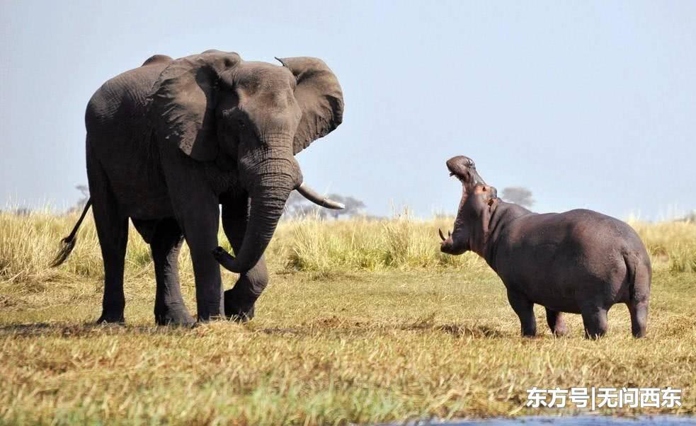 三只河马宝宝排队过河,暴躁大象故意发坏吓得它们连滚带爬跳下水