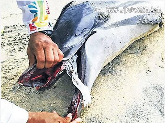 海豚惨死沙滩,口中惊现一块尿片,疑窒息而死