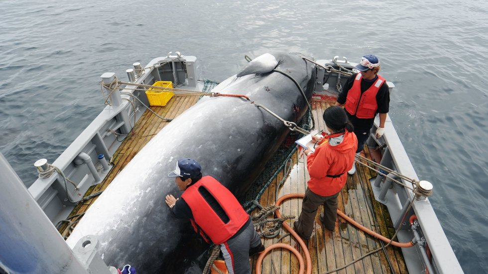 Japan announces withdrawal from whaling treaty, eyes return to commercial hunting in 2019