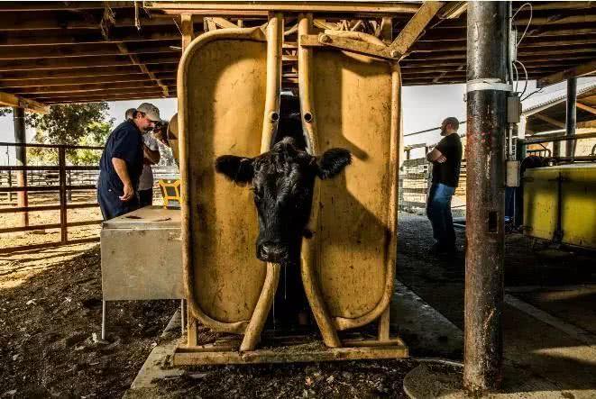 基因编辑过的家畜来了,你愿意吃吗?