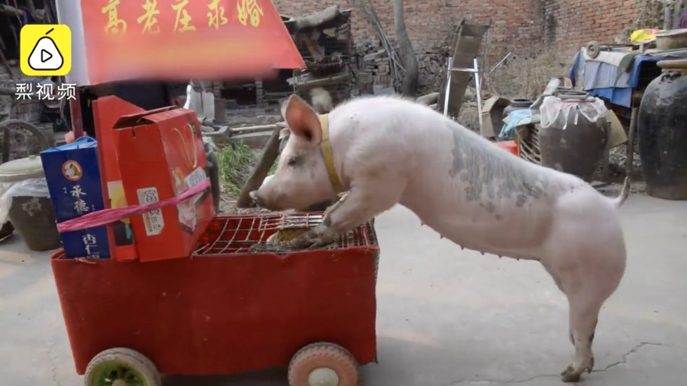 Is this China's cleverest pig? Farmer trains porker to pull wedding carts