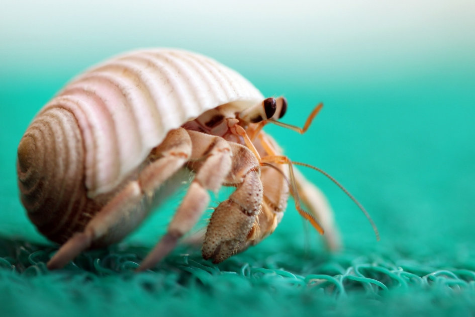 Turns Out Hermit Crabs Are Extraordinarily Well-Endowed—Here's Why