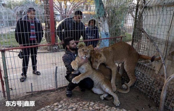 悲剧!加沙遭遇10年最冷冬天,动物园内4幼狮刚出生就被冻死!