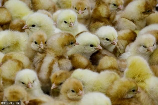 """英国科学家研究抗禽流感转基因""""超级鸡"""""""