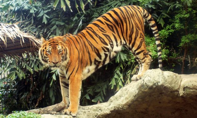Cannibalistic tiger caught eating tigress in India