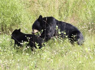 Camera Catches Poachers Killing Bear, 'Shrieking' Cubs