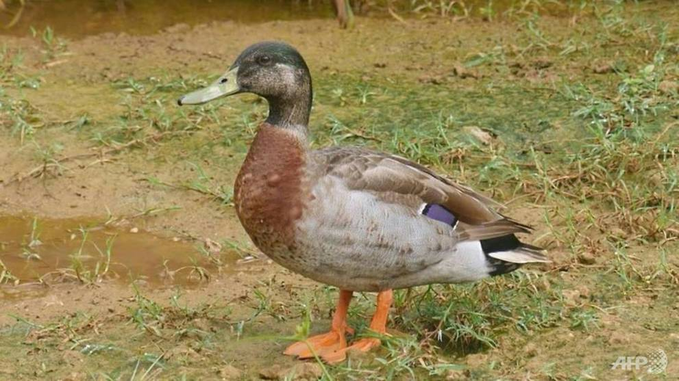 'World's loneliest duck' Trevor dies on tiny Niue