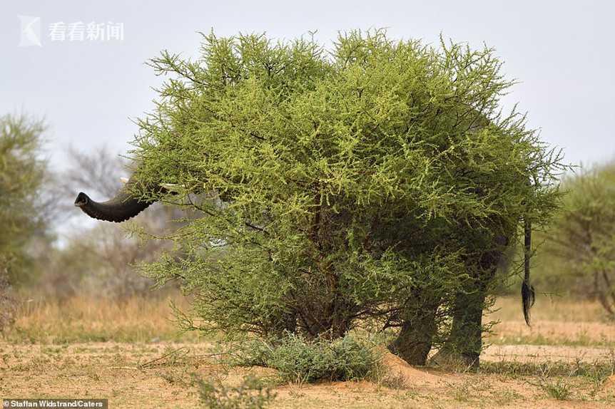 大象隐身巨型灌木丛 却被象鼻尖和尾巴梢出卖