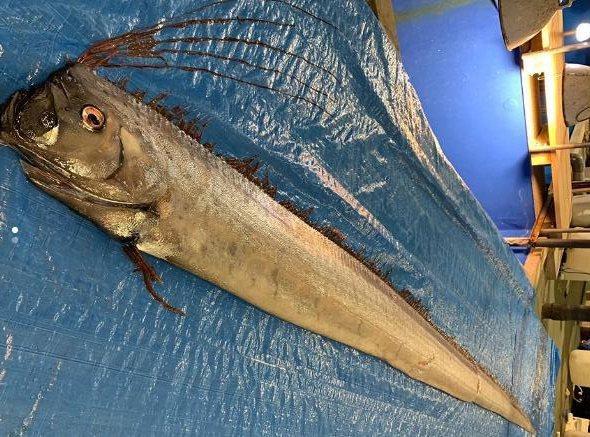 日本海岸现多条罕见皇带鱼 民众忧是地震海啸前兆