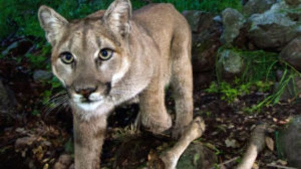 Los angeles area edges closer to safe passageways to save mountain lions