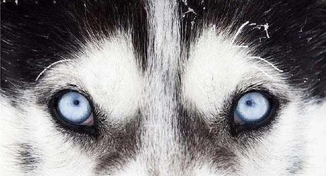 又到了土狼出现的季节了,美国科学家发现本土存在变异土狼!