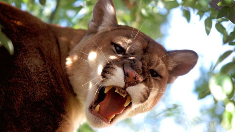 Colorado runner kills cougar in self-defence after attack