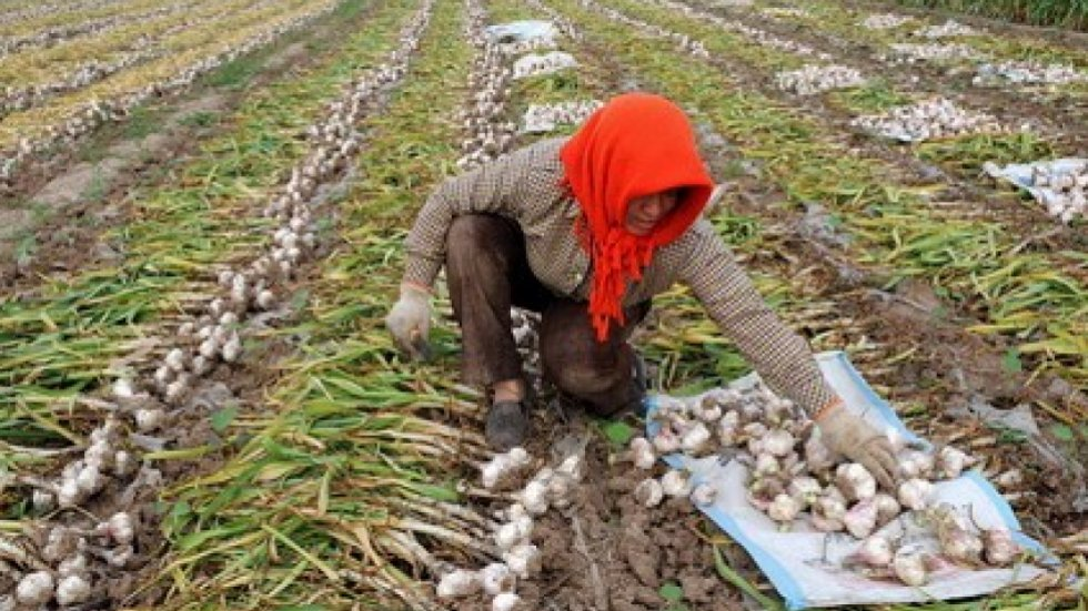 US-China garlic fight a stinker with claims of racketeering and prison labour