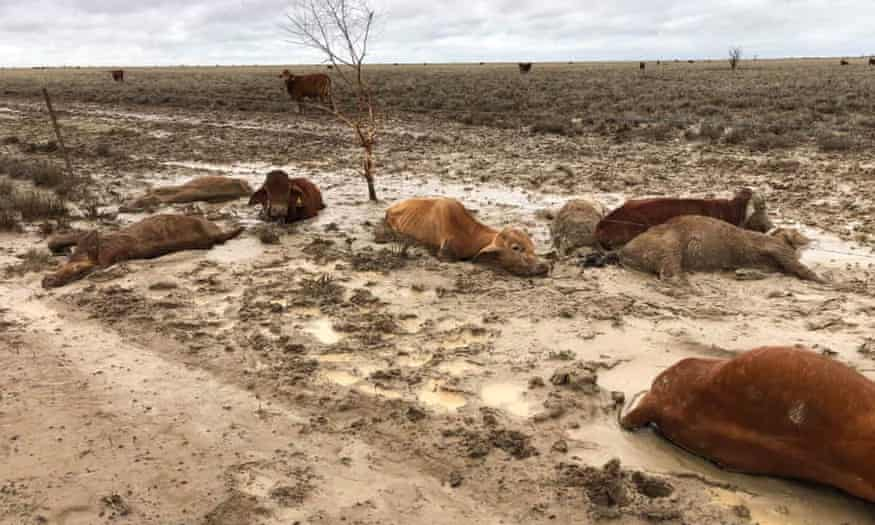 Inquiry Announced After 300,000 Cattle Die In Queensland Floods