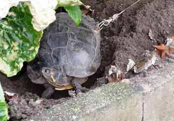 主人为了安心度假,竟将宠物龟龟壳被钻洞穿入铁环栓在树上!