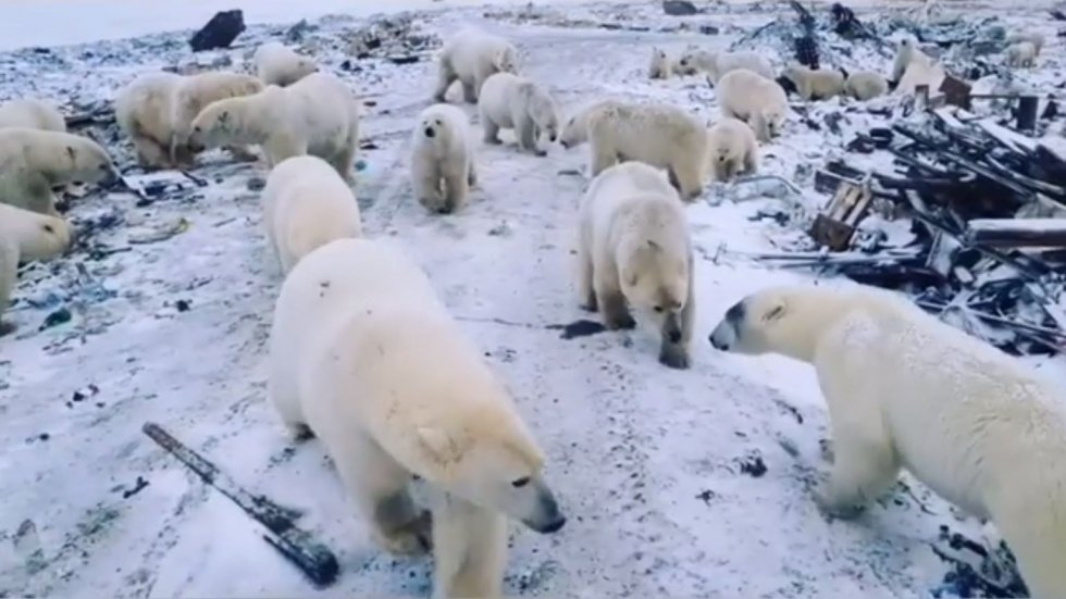 Marauding polar bears terrorise town of Belushya Guba in Russian Arctic as they invade homes and offices