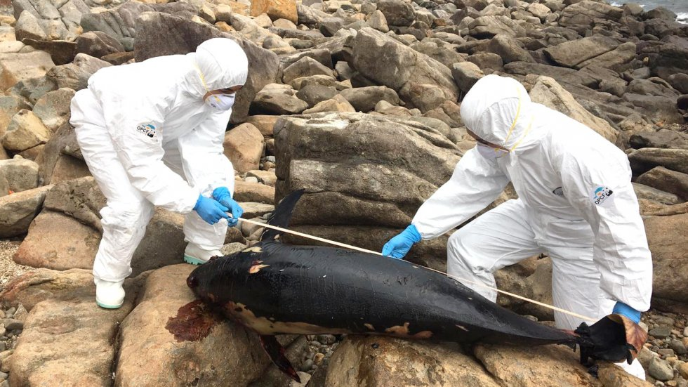 Two porpoise carcasses found on separate Hong Kong shores, bringing number of cases this year to 15 – an alarming trend, green groups warn
