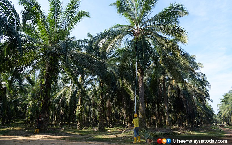 RSPO ready to publish oil palm plantation maps 'within days'