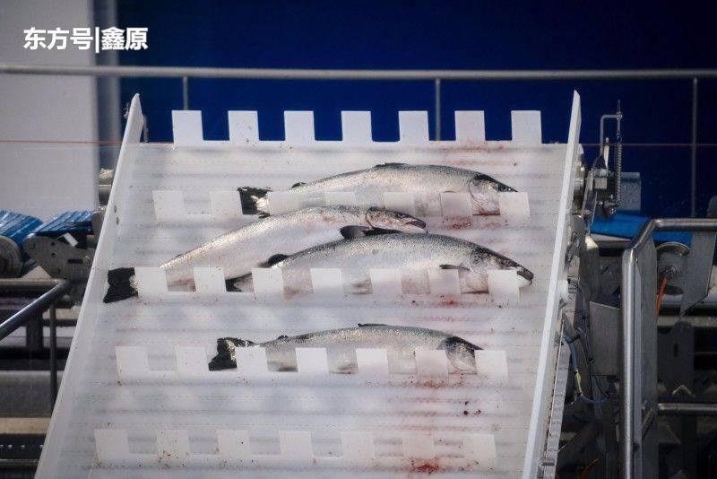 触目惊心!气温飙升致海藻繁殖失控,挪威800万条马哈鱼死亡!