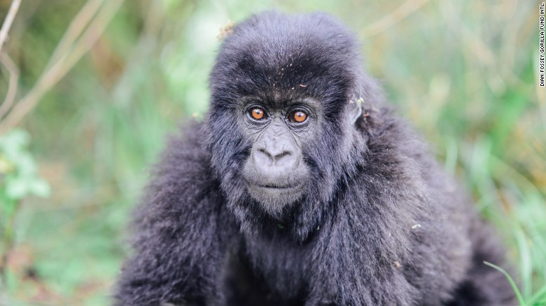 The last of the 'Gorillas in the Mist' is presumed dead