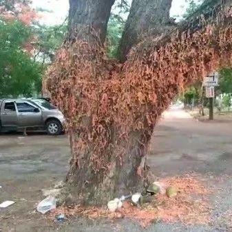 芭提雅寺庙内古树挂满许愿绳遭投诉