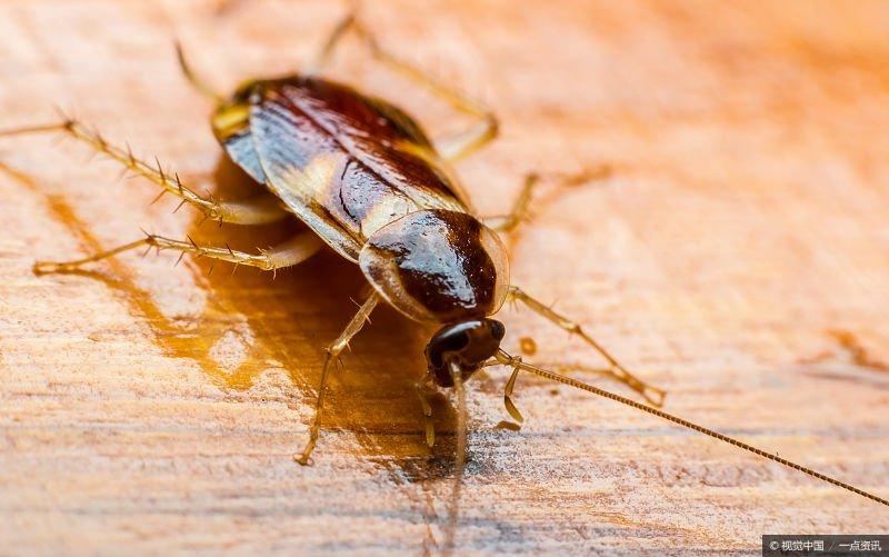吃蟑螂能治癌症?医生告诉你答案