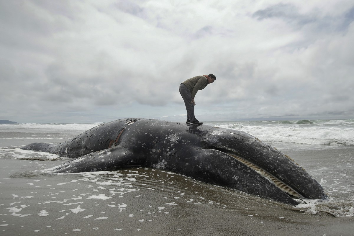 Out of space to put dead grey whales washing ashore, US authorities ask waterfront landowners to take them
