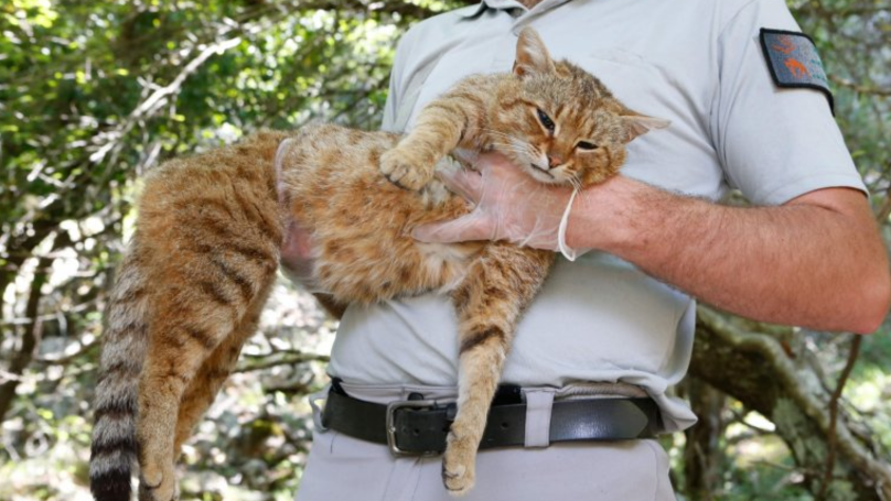 New Species Of Cat Discovered On Mediterranean Island Of Corsica