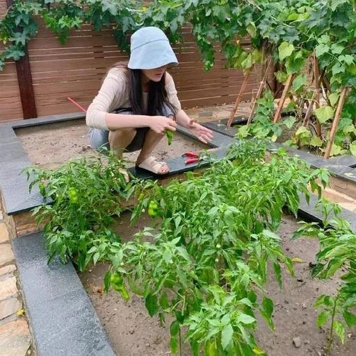 张馨予摘菜姿势抢镜,豪宅自带菜园令人羡慕