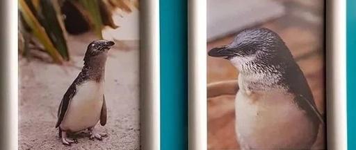 这个水族馆里的戏精企鹅们,每天都在上演鹅版甄嬛传……