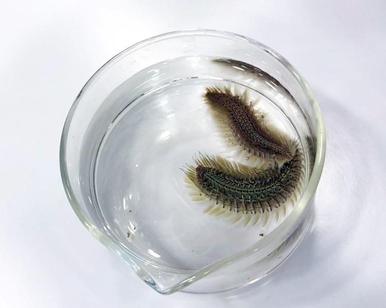 本港海域发现新品种海毛虫 命名「双斑海毛虫」