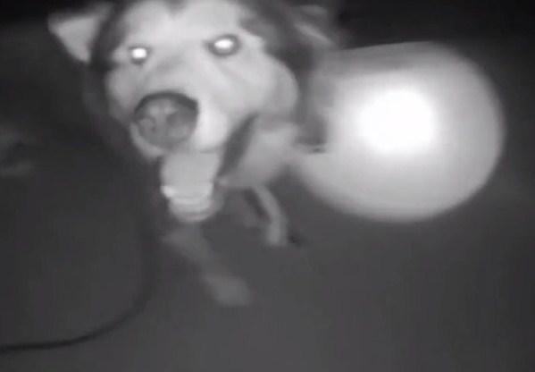 民众声称街头惊见狼 警员一看竟是…
