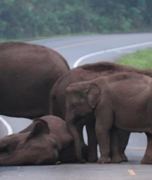 Ele-faint: Family of elephants try to wake up their dozing relative as it sleeps on a road warmed by the sun