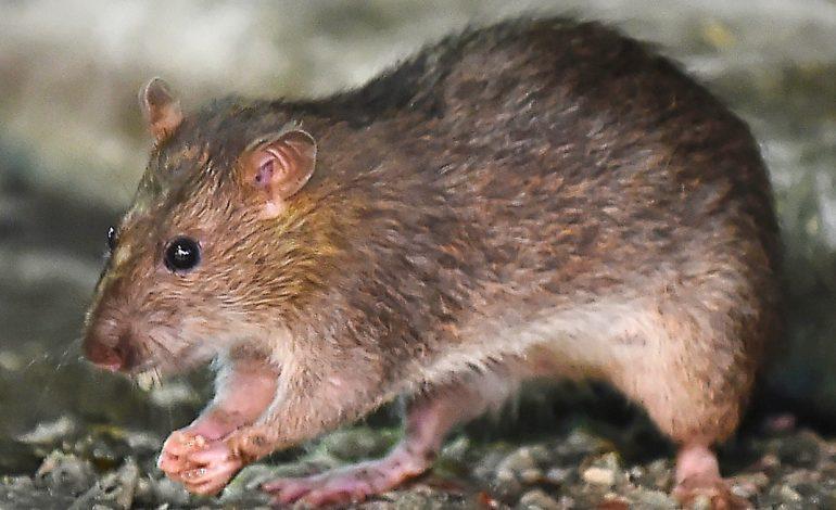 An unusual ratty snack in Cambodia