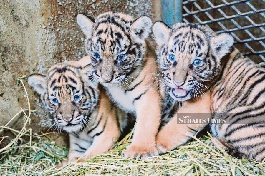 KL city hall to adopt 3 malayan tiger cubs