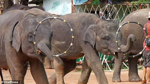 Elephants are forced to carry tourists on their trunks while being beaten with hooked poles during daily shows in Thailand