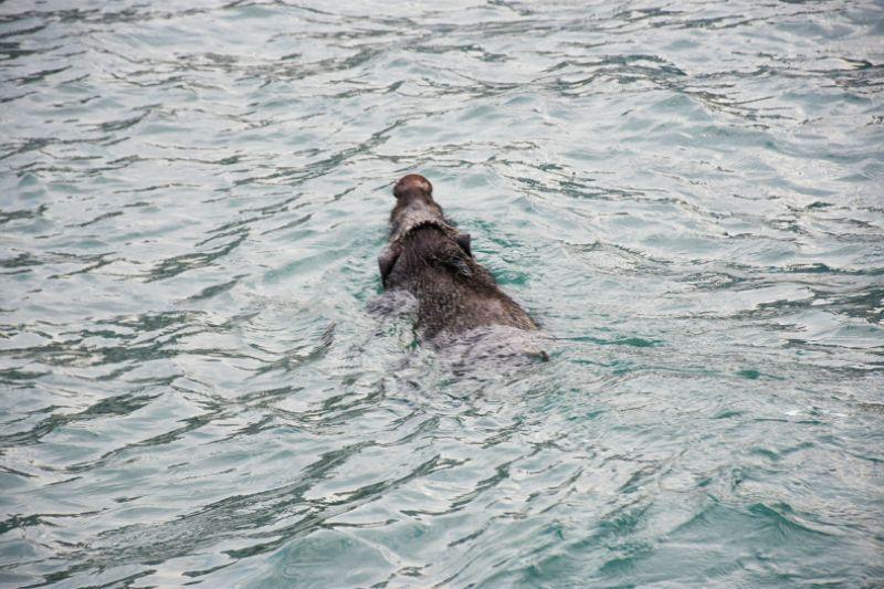 Melaka's mythical Pulau Besar sees pig invasion swimming across Strait from Sumatra