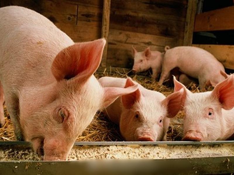 发改委:生猪规模化养殖场将或获最多500万元建设补助