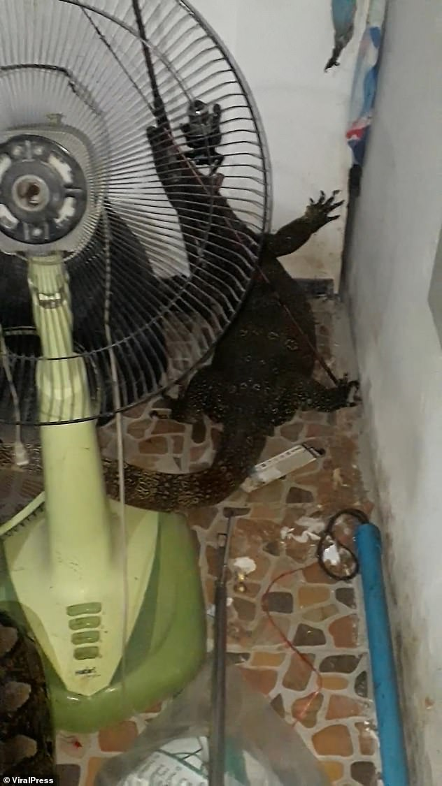 Stomach-churning moment a python regurgitates a LIVE 4ft monitor lizard and the reptile scampers off