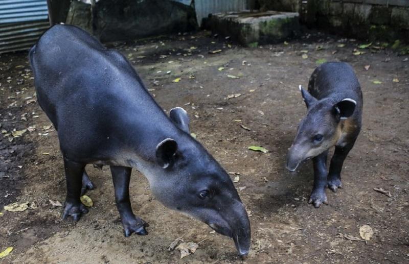Tapir rescued after falling into drain in Terengganu