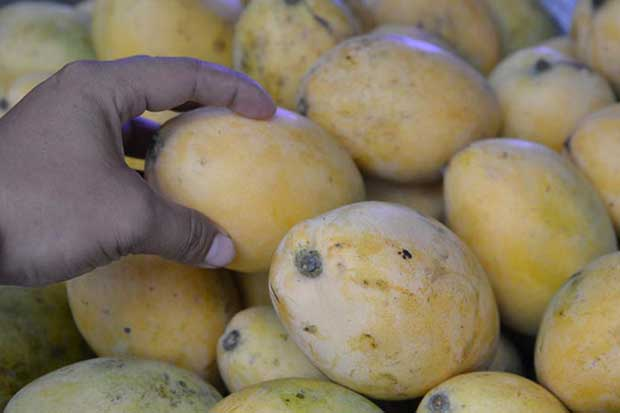 Mangoes next in line for Cambodian exports to China