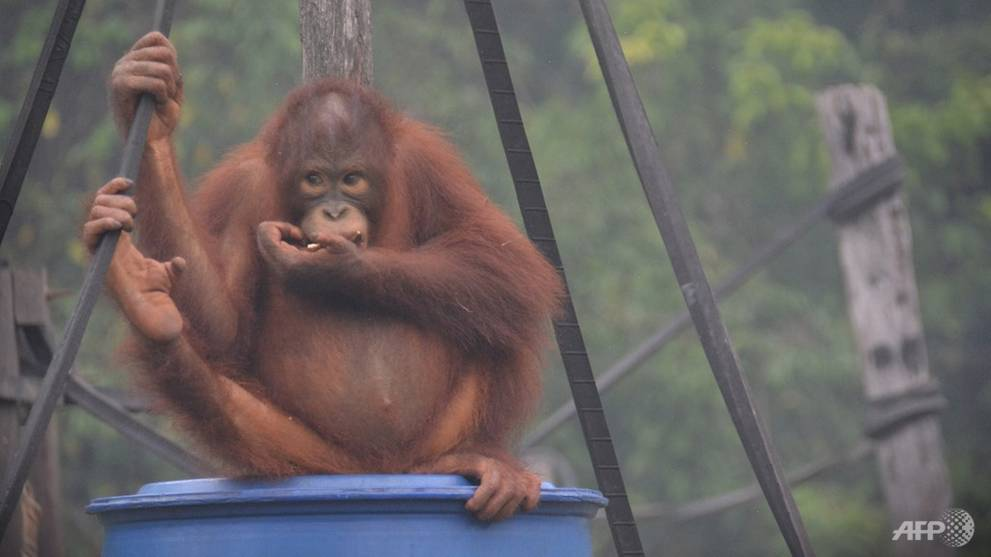 Indonesia's toxic haze affecting Borneo's orangutans: Rescuers